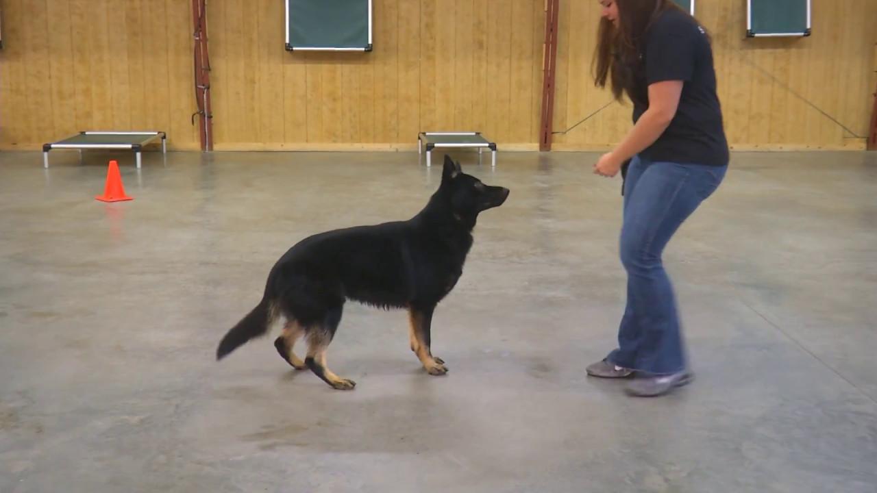 Super Trained Dog Looks Like German Shepherd