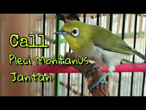 Suara Call Pleci Montanus Jantan | Pancingan Pleci Montanus Bahan