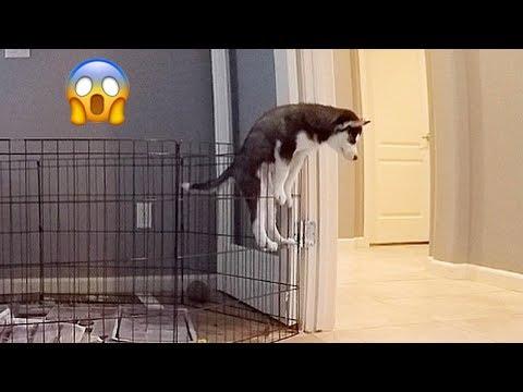 Husky Puppy Escape Artist