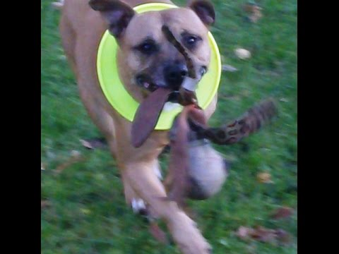 Staffordshire Bull Terrier Bo on a mission.