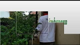 Pemanfaatan pekarangan rumah untuk menanam caberawit menggunakan polybag