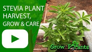 Stevia plant - How to grow & care - Sweetener (Candyleaf)