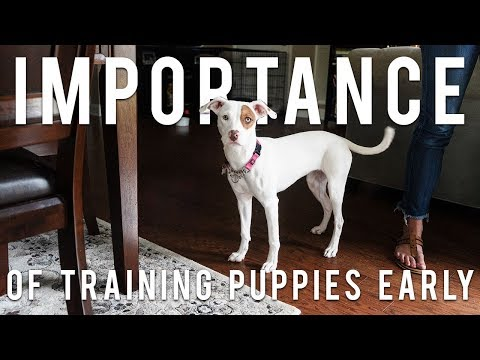 The Importance of Training Your Puppy Early | New York Bully Crew