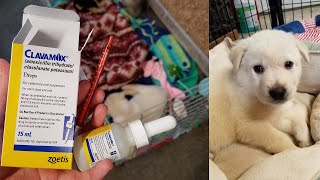 How to Give a Puppy a Liquid, Oral Antibiotic
