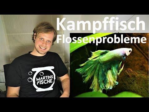 Kampffisch Hochzuchtform - Update Und Flossenprobleme