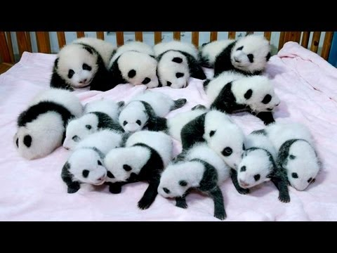 Baby Pandas: China Shows Off 14 Giant Panda Cubs