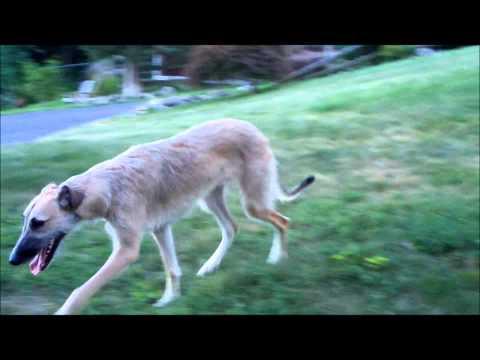 Irish Wolfhound/Whippet Lurcher