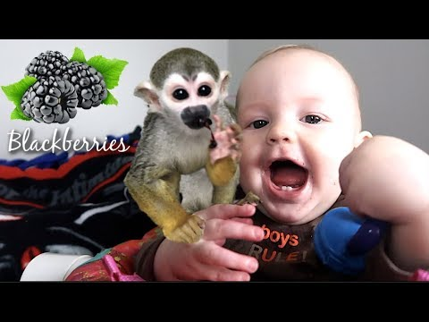 Baby Monkey oLLie tries a JUICY Blackberry & Makes a Mess!