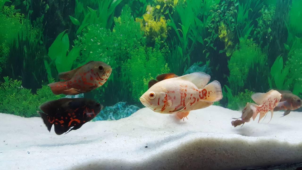 Adult oscar fish phrase