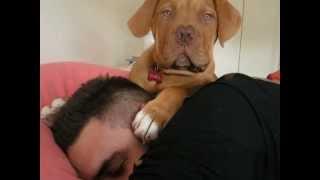 Dogue De Bordeaux Puppy  Simba Licking Me