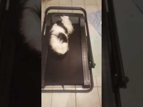 Louis (Japanese Chin) on Treadmill - 2016