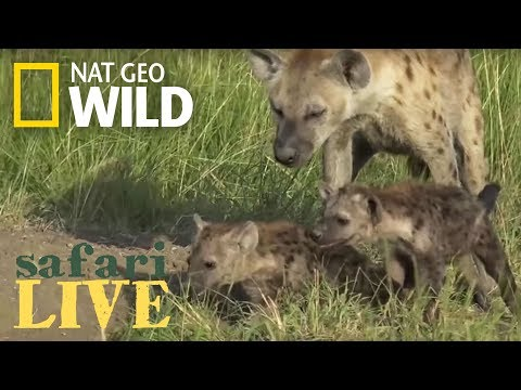 New Hyena Den is Discovered with Lots of Babies – Day 80 | Safari Live