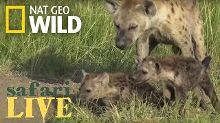 New Hyena Den is Discovered with Lots of Babies – Day 80 | Safari Live thumbnail