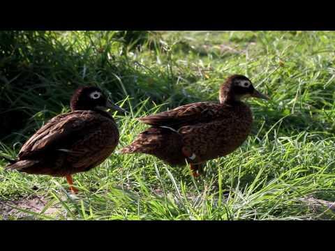 Laysan Ducks on Midway Atoll