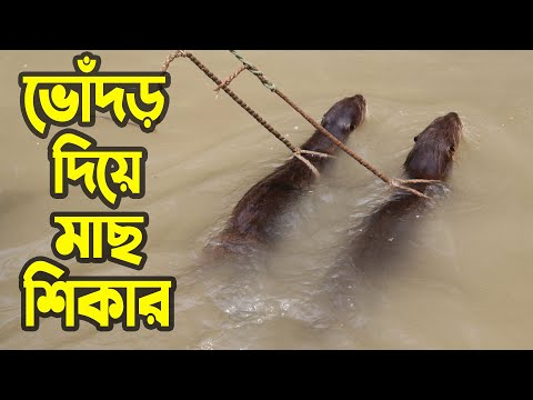 Traditional Fishing with Otters in Bangladesh | ভোঁদড় দিয়ে মাছ ধরা