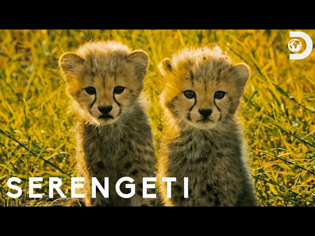 Baby Cheetahs Face Predators | Serengeti