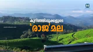 Neelakurinji Blossom Season Rajamala   Mathrubhumi