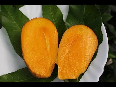 Вопрос: Будут ли плоды у манго в условиях квартиры?