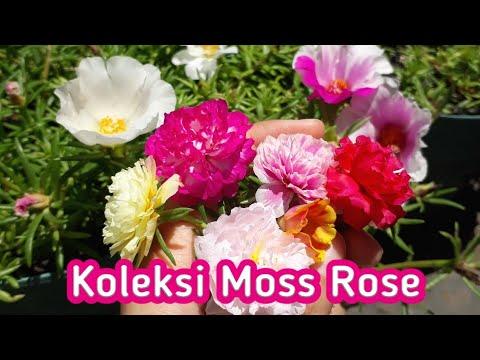Bunga Krokot Warna Warni Moss Rose Portulaca Di Kebun Kecil Vinflora Youtube