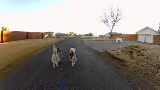 Texas Siberian Husky Urban Mushing Gopro Hero2 Hd