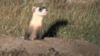 Spotlight on Black-footed Ferrets