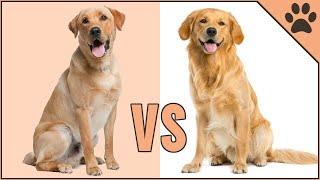 Golden Retriever vs Labrador Retriever  Dog Breed Comparison | Dog World