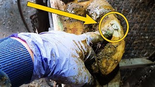 WHY is this ROCK STUCK in a  COWS HOOF!?| The Hoof GP