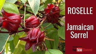 Growing JAMAICAN Sorrel - ROSELLE