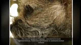 Маленькие породы собак БОРДЕР ТЕРЬЕР
