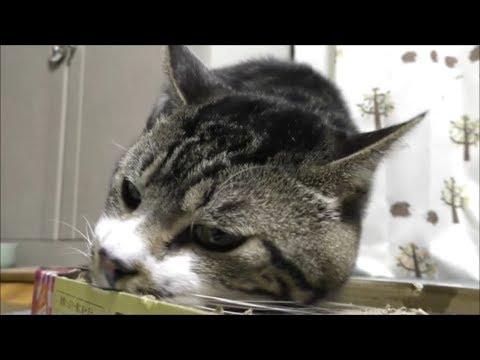 喜びの舞を披露する猫リキちゃん☆さようならつめみがき・・こんにちはつめみがき☆平成の最後の日につめみがきを新調!爪磨きよりスリスリするのに忙しい猫【リキちゃんねる 猫動画】キジトラ猫との暮らし