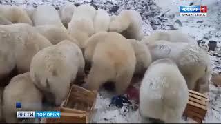 видео: На архипелаге Новая Земля действует режим чрезвычайной ситуации из-за нашествия белых медведей