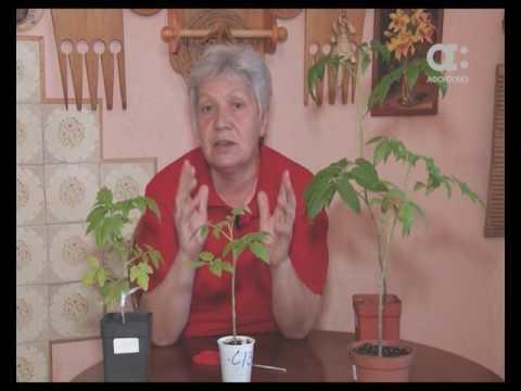 Голова садовая. Подрезка листьев у рассады томатов