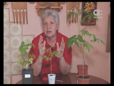 Опадают нижние листья у рассады помидор - Магия растений