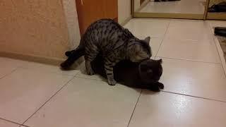 Британский кот и шотландская вислоухая кошка