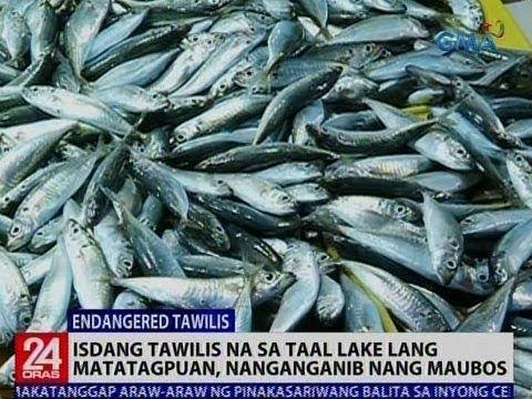 24 Oras: Isdang Tawilis na sa Taal Lake lang matatagpuan, nanganganib nang maubos