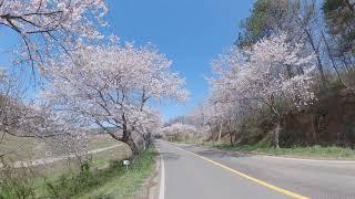 보령 주산 벚꽃길5