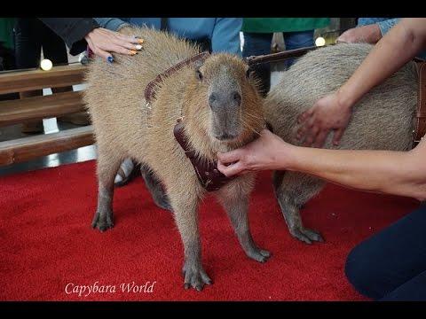 Romeo and Tuff'n Capybara Visit Santa in Las Vegas ラスベガスでロミオカピバラ訪問サンタ