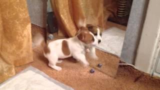 Моя собака Юшка. Джек Рассел Терьер. Щенок. Первые дни дома!