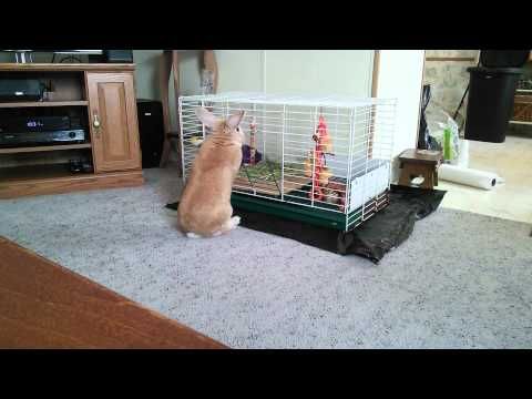 Rex rabbit opens his own cage!