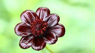 Цветок, который пахнет, как шоколад.