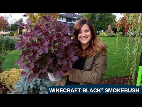 Planting a Winecraft Black Smokebush! 😍🌿👍 // Garden Answer
