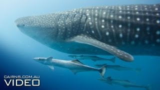 Whale Shark on Great Barrier Reef