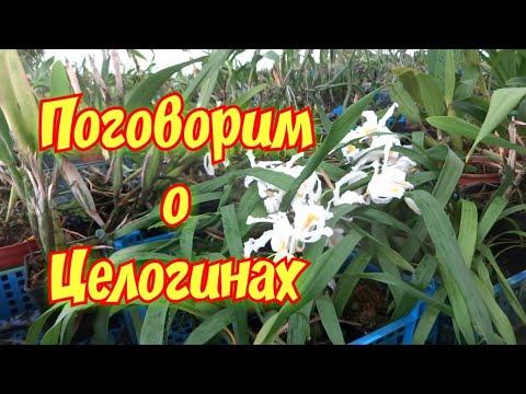 Орхидеи ЦЕЛОГИНЫ