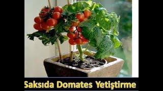 Balkonda saksıda domates yetiştirme