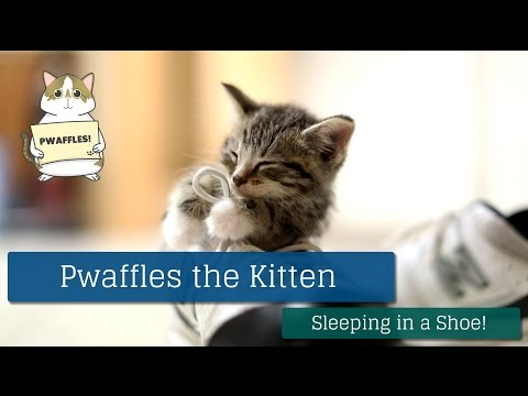 Thumbnail for Cat Video Pwaffles the Kitten Falls Asleep in a Shoe!