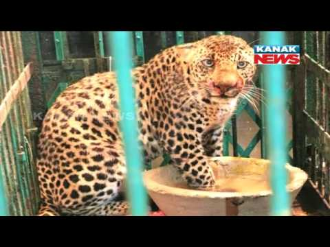Nuapada Man Eater Kept Isolated In Nandankanan