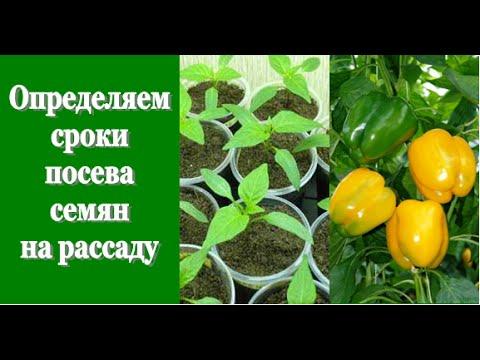 Определяем СРОКИ ПОСЕВА СЕМЯН на рассаду (томаты, перцы, огурцы)