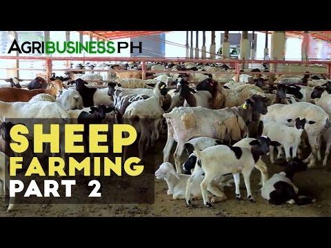 Sheep Breeding | Sheep Farming Part 2 #Agribusiness