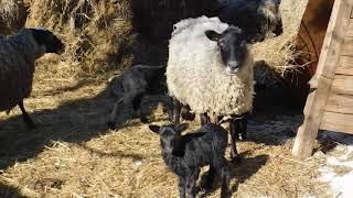 романовская овца с ягнятами весна 2018