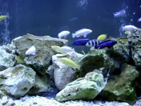 我的新魚-南美慈鯛   Doovi